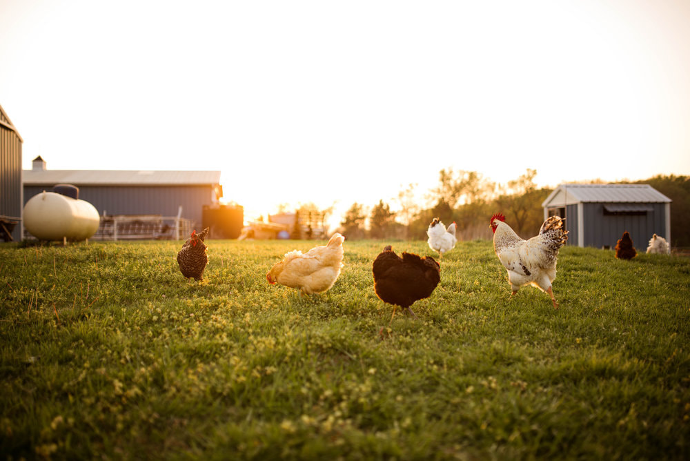 Free Range Chickens Cartermere Farms